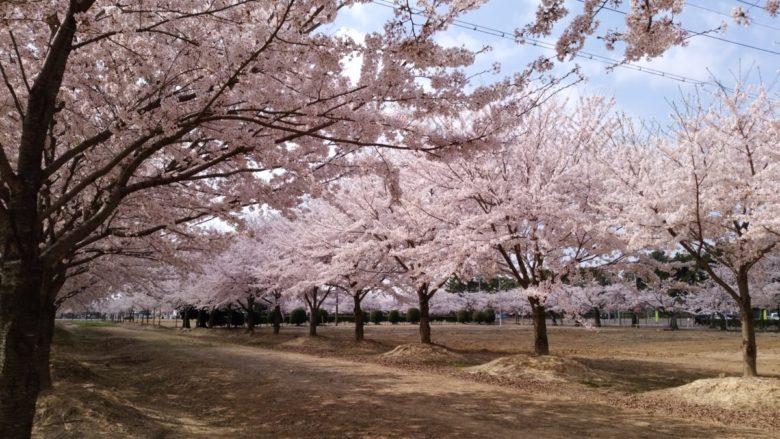 桜、満開でした♪